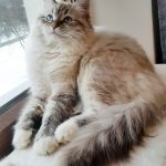 Bonnie kot z hodowli Małe Białe