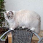 Lenka - kotka hodowla Male Biale