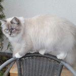 Lenka _ kotka syberyjska Neva Masguerade w hodowli Małe Białe PL