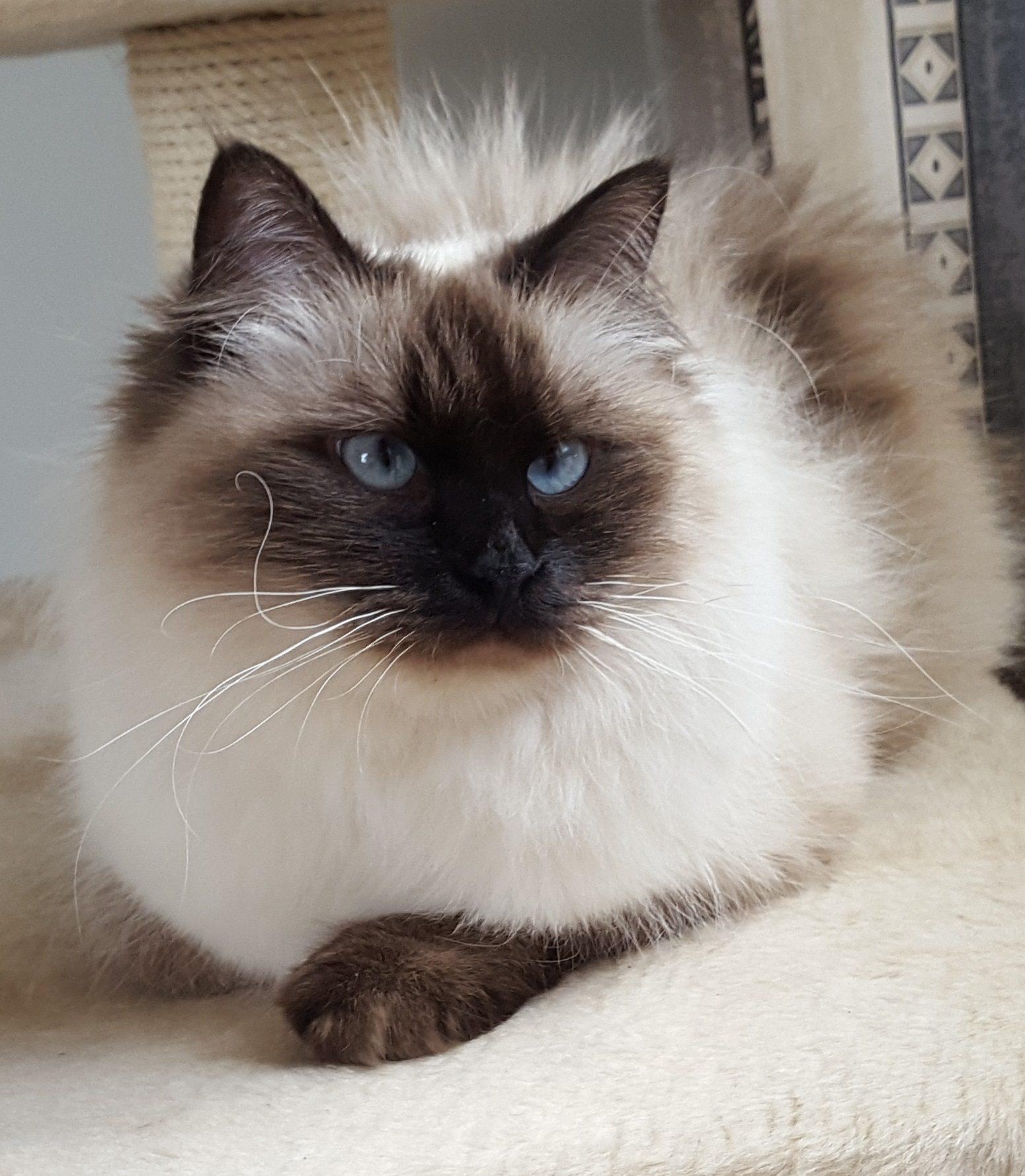 Koty Rasy Neva Masquerade Kup Kota Z Naszej Hodowli Małe Białepl