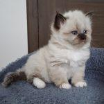 Hossa Małe Białe*PL, kotka syberyjska Neva Masquerade
