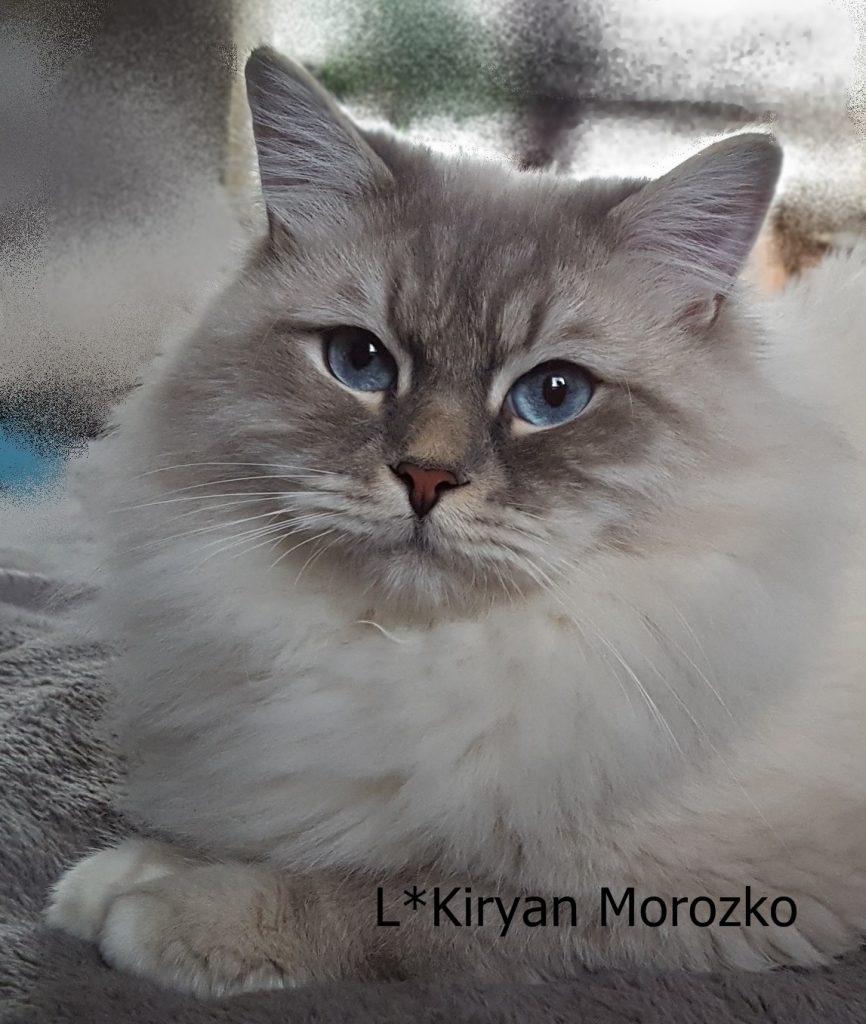 L Kiryan Morozko, syberyjski Neva Masquerade w hodowli Małe Białe PL
