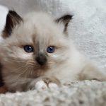 Harley Małe Białe*PL, kot syberyjski Neva Masquerade