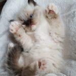 Heban Małe Białe, kot syberyjski,Neva Masquerade
