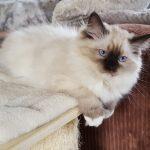 Heban Małe Białe,hodowla,kot syberyjski, Neva (1)