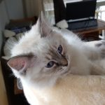 Hestia Małe Białe PL, hodowla, kot syberyjski, Neva (1)