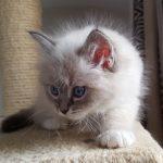 Hestia Małe Białe, kotka syberyjska, Neva Masquerade (1)