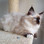 Honey Małe Białe, hodowla, kot syberyjski, Neva (2)