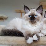 Hossa Małe Białe PL,hodowla, kot syberyjski, Neva (1)