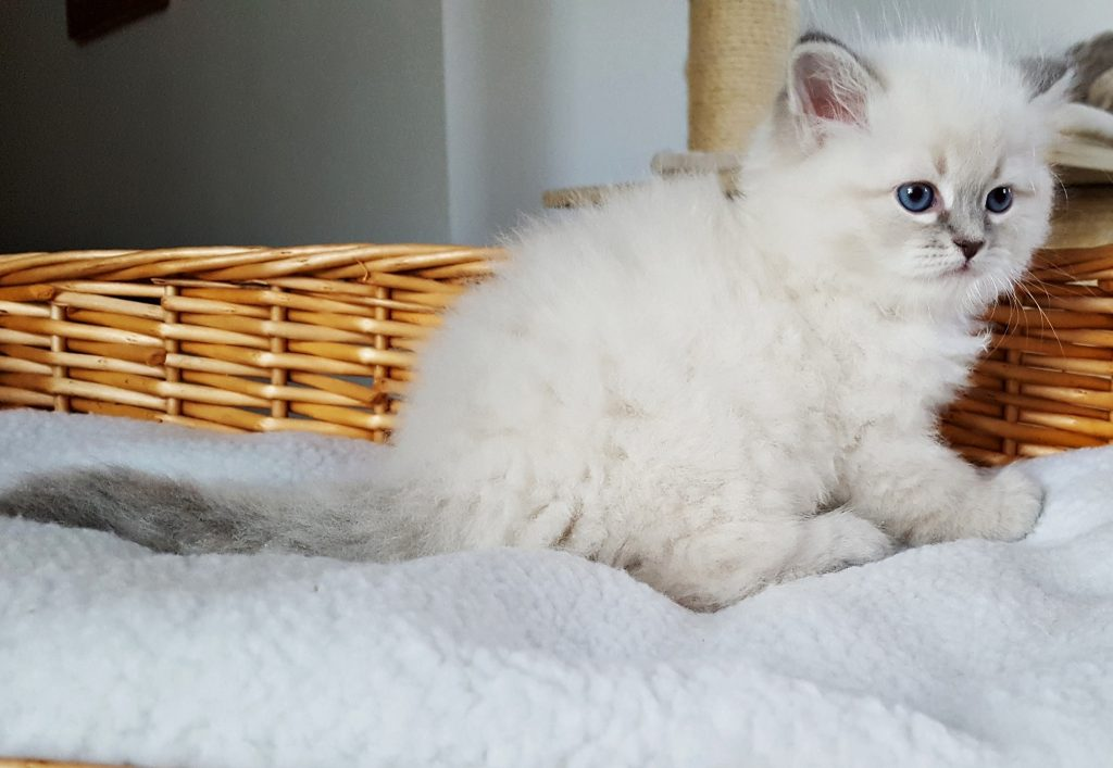 Irving Małe Białe PL, kot syberyjski Neva Masquerade (1)