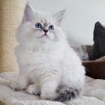 Irving Małe Białe PL, kot syberyjski Neva Masquerade (25)