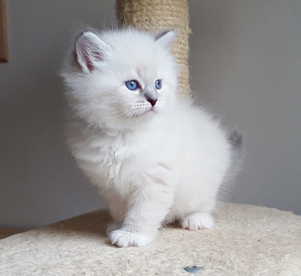 Iskra Małe Białe PL, kotka syberyjska Neva Masquerade (22)