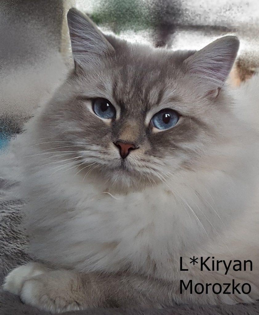 L*Kiryan Morozko, hodowla, Małe Białe, kot syberyjski, Neva Masquerade