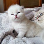 Iskra Małe Białe PL, kotka syberyjska Neva Masquerade (1)