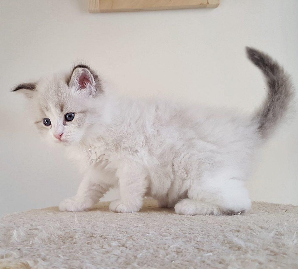 Kocurek 3 w hodowli Małe Białe, kot syberyjski Neva Masquerade