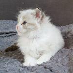 Kocurek 3 w hodowli Małe Białe, kot syberyjski Neva Masquerade (4)