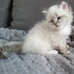 Kotka,hodowla Małe Białe, syberyjska Neva Masquerade