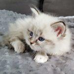 Kotka,hodowla Małe Białe, syberyjska Neva Masquerade (8)