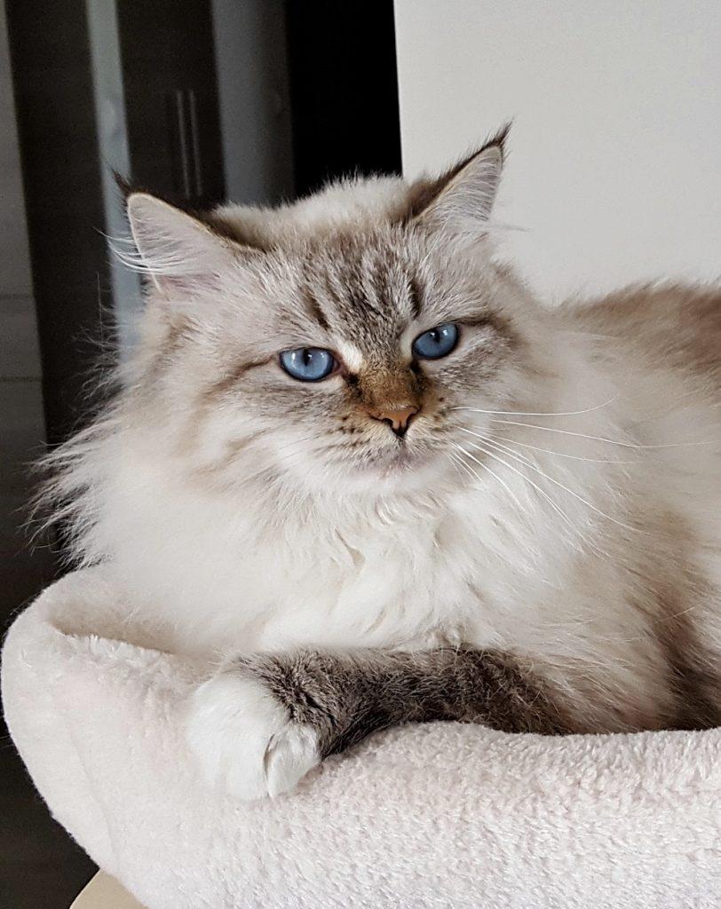 Bonnie Małe Białe*PL, kotka syberyjska Neva Masquerade