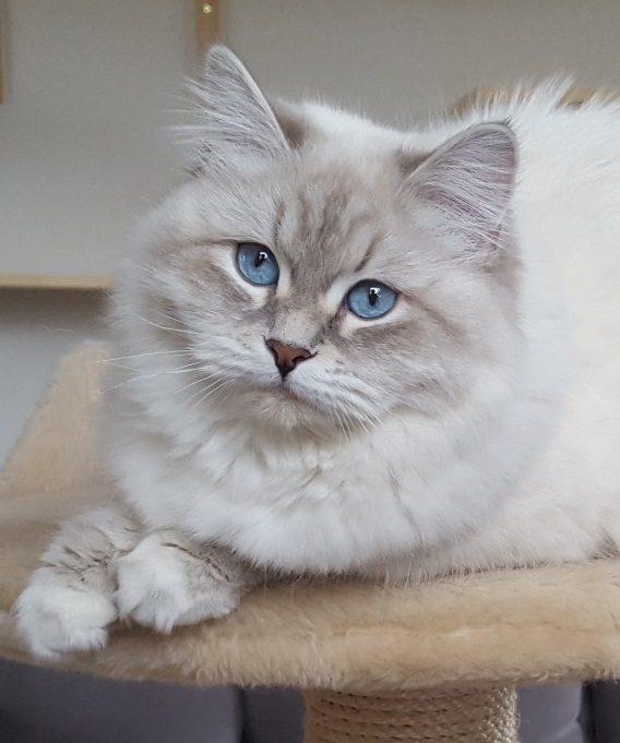 Geyla Małe Białe PL,kotka syberyjska,Neva Masquerade