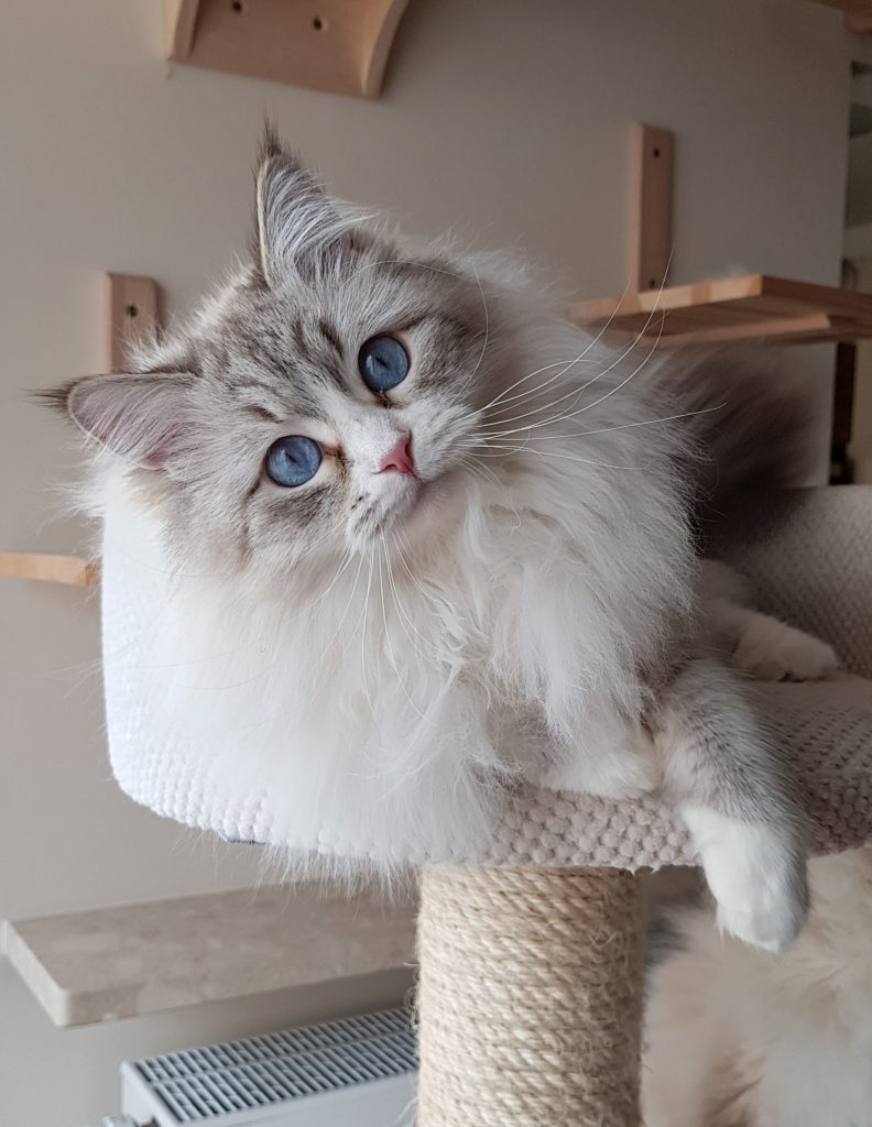 Antea Małe Białe PL, kotka Neva Masquerade, syberyjska