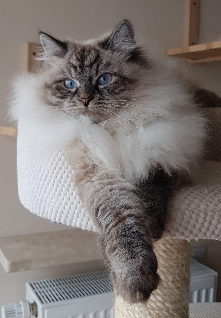 Colete Małe Białe PL,kotka syberyjska, Neva Masquerade