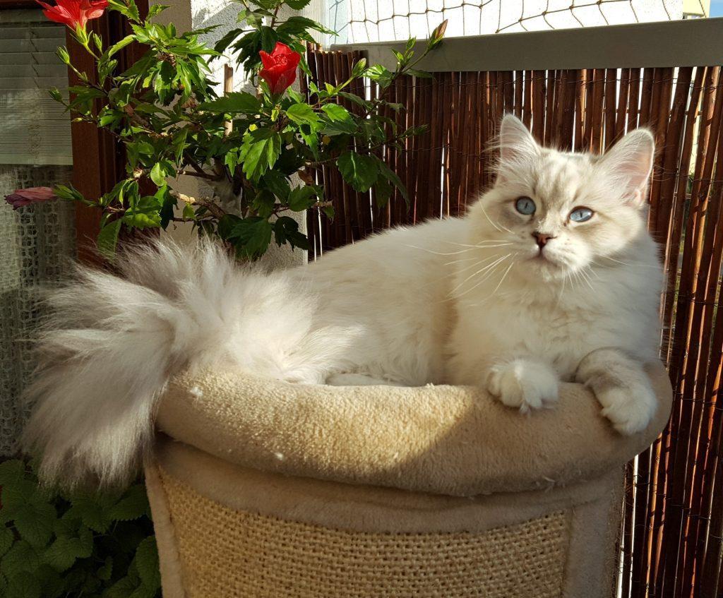 Geyla Małe Białe PL, kotka syberyjska, Neva Masquerade