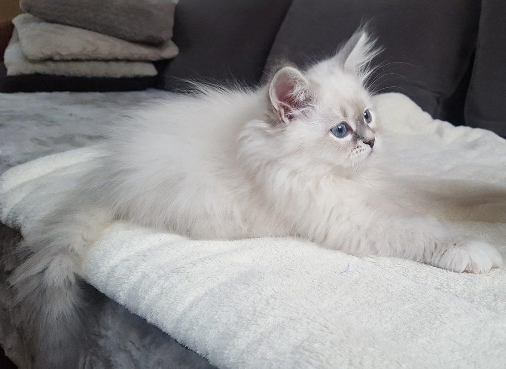 Ischaya Małe Białe PL,kotka syberyjska,Neva Masquerade