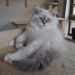 Iskra Małe Białe, kotka syberyjska Neva Masquerade, hodowla Małe Białe PL