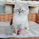 Jadore, hodowla Małe Białe, kotka syberyjska, Neva Masquerade