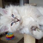Jankes, hodowla Małe Białe, kot syberyjski, Neva Masquerade (