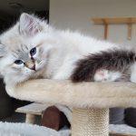 Joshy,hodowla Małe Białe, kot syberyjski, Neva Masquerade
