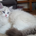 Julian Małe Białe PL,hodowla,kot syberyjski,Neva Masquerade