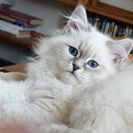 Ishaya Małe Białe PL, kotka syberyjska, Neva Masquerade