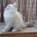 Iskra Małe Białe PL,kotka syberyjska, Neva Masquerade