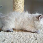 Katie Małe Białe Pl, kotka,syberyjska,Neva Masquerade