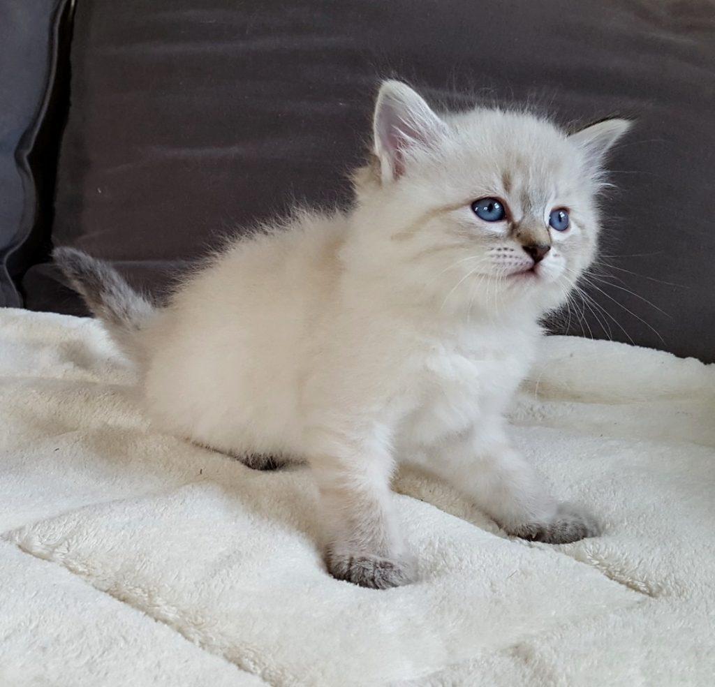 Keybbe Małe Białe Pl, kotka,syberyjska,Neva Masquerade
