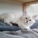 Keybbe Małe Białe PL, kotka syberyjska, Neva Masquerade