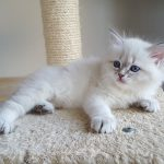 Katya Małe Białe, kotka,syberyjska,Neva Masquerade