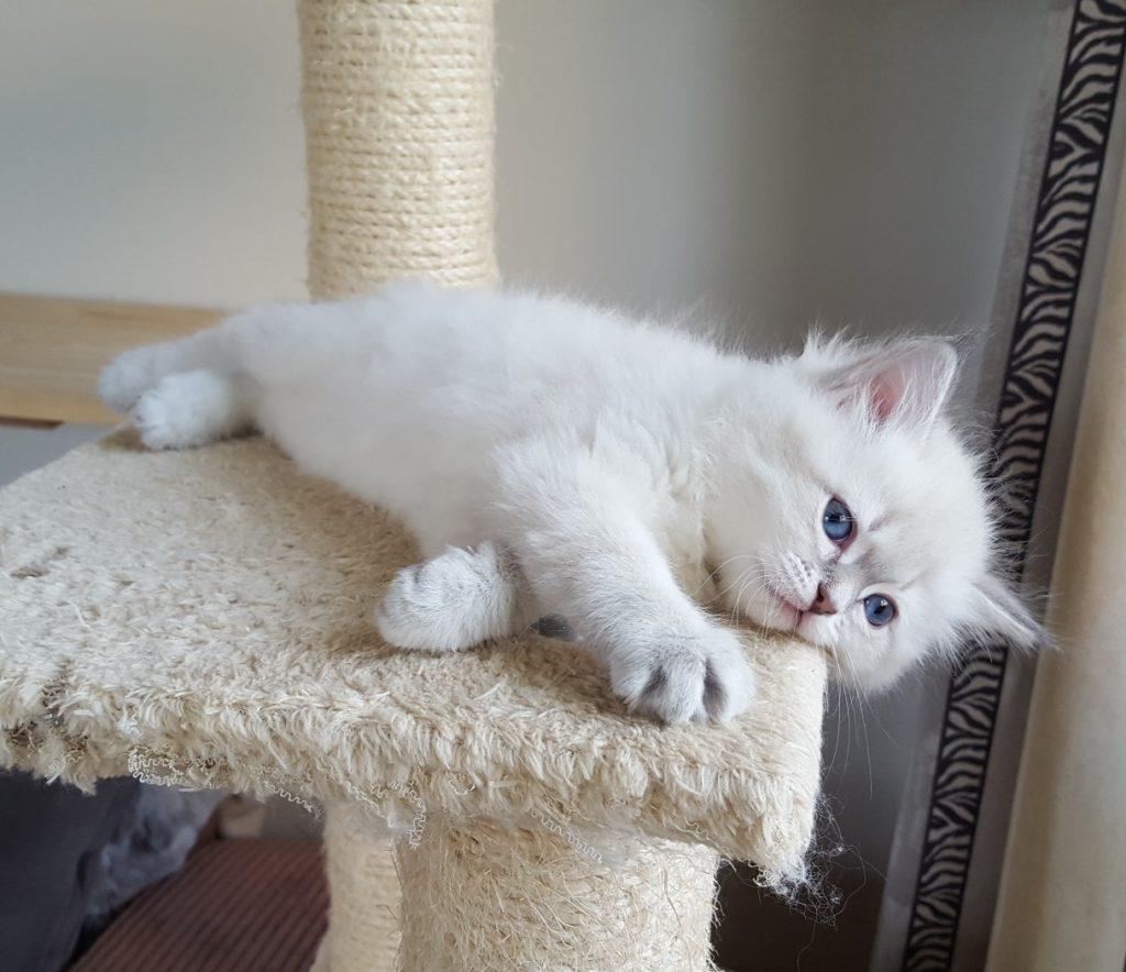 Kaybbe Małe Białe, kotka,syberyjska,Neva Masquerade