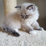 Kayra Małe Białe PL, kotka syberyjska,Neva Masquerade
