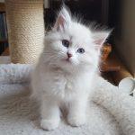 Laura Małe Białe PL, kotka syberyjska, Neva Masquerade