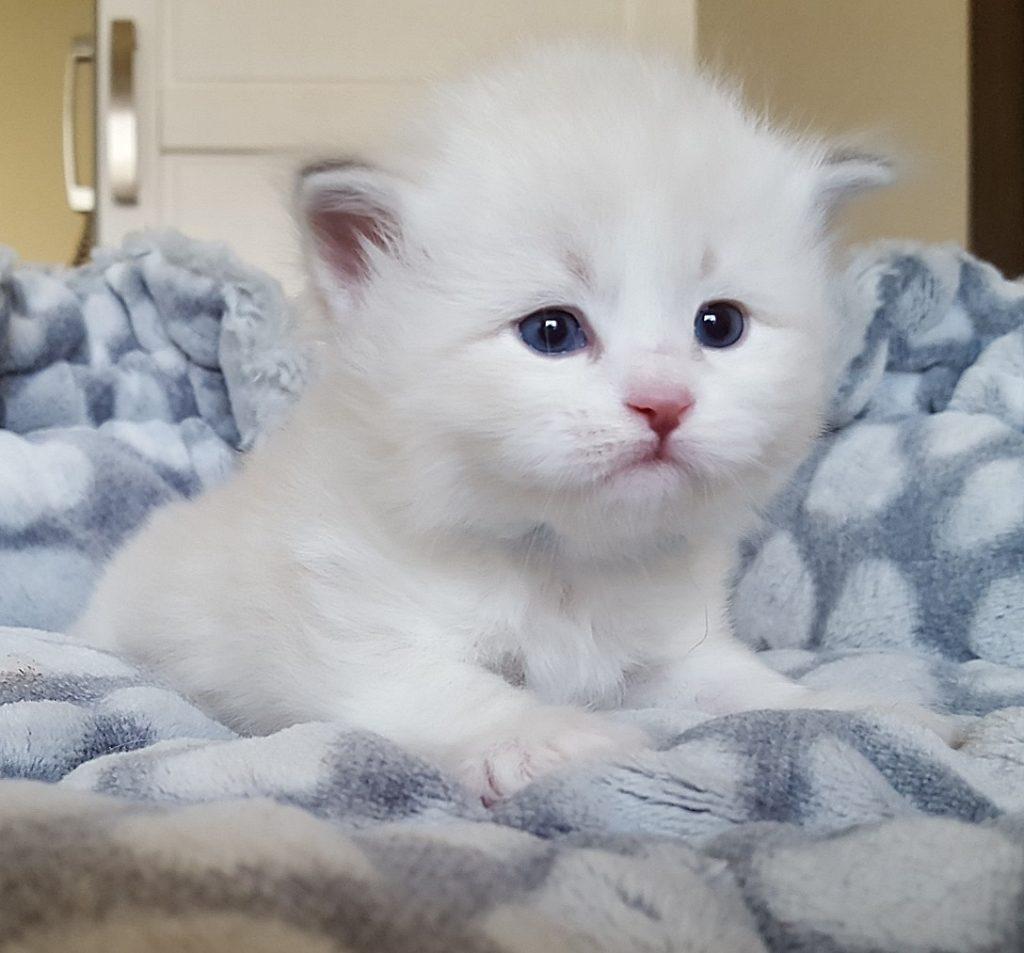 Laura Małe Białe PL, kotka syberyjska,Neva Masquerade
