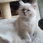 Livia Małe Białe PL, kotka syberyjska, Neva Masquerade