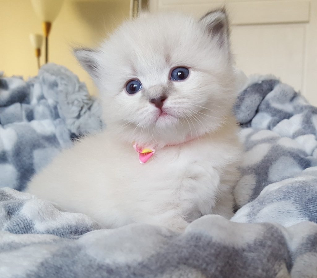 Livia Małe Białe PL, kotka syberyjska,Neva Masquerade