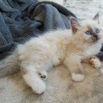 Lucjan Małe Białe PL, kot syberyjski,Neva Masquerade