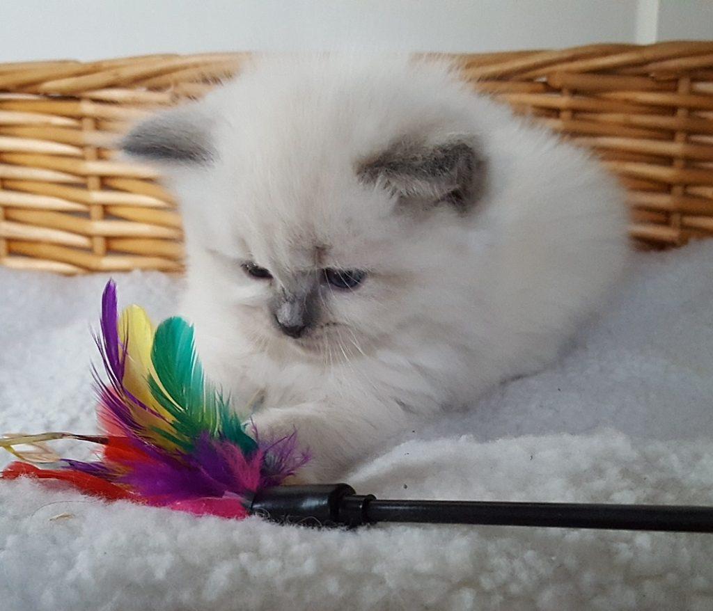 Lucjan Małe Białe*PL, kocurek syberyjski,Neva Masquerade