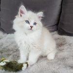 Luxus Małe Białe PL, kot syberyjski, Neva Masquerade