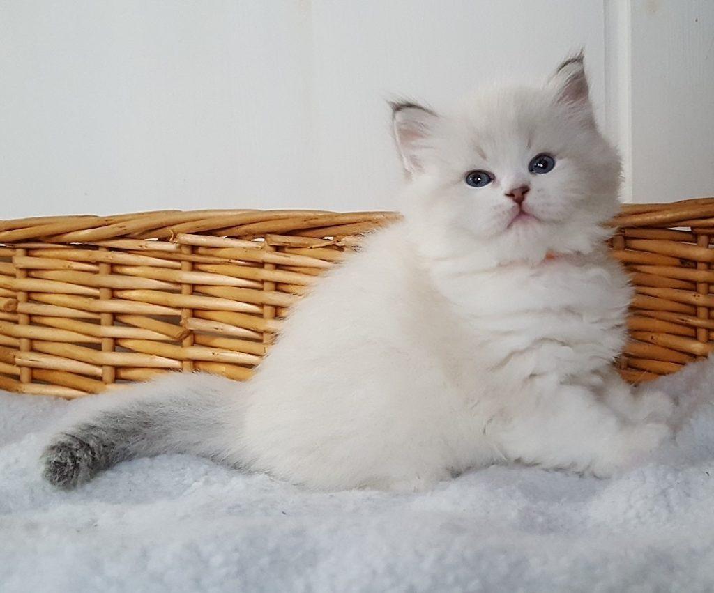 Luxus Małe Białe*PL, kocurek syberyjski,Neva Masquerade