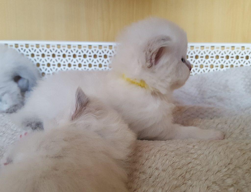 Kotka syberyjska, Neva Masquerade, Małe Białe*PL